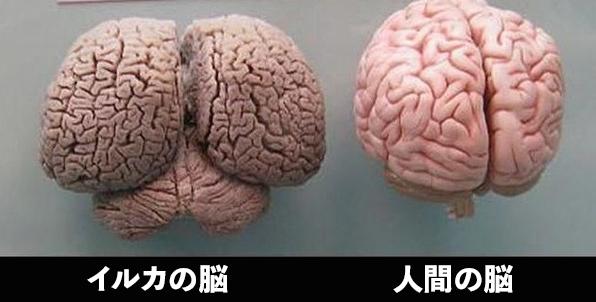 イルカの脳と人間の脳