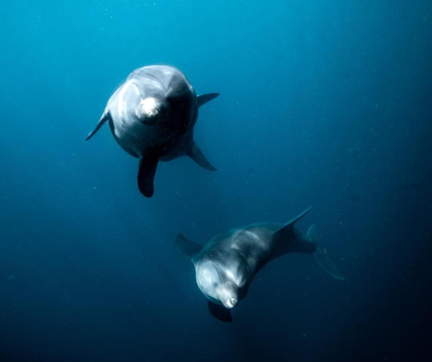 救助されたイルカがサンクチュアリーの深い海水で泳ぎます