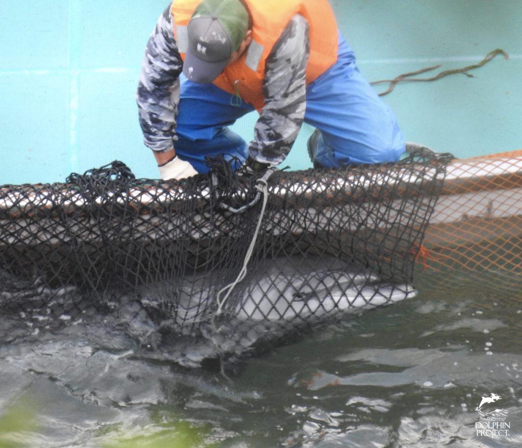 太地町のイルカの追い込み漁・バンドウイルカの水族館用の捕獲