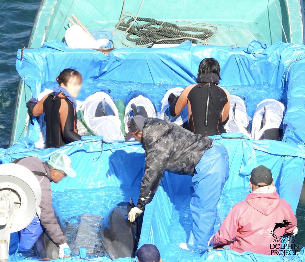 太地町のイルカの追い込み漁・水族館用に捕獲されたマダライルカ