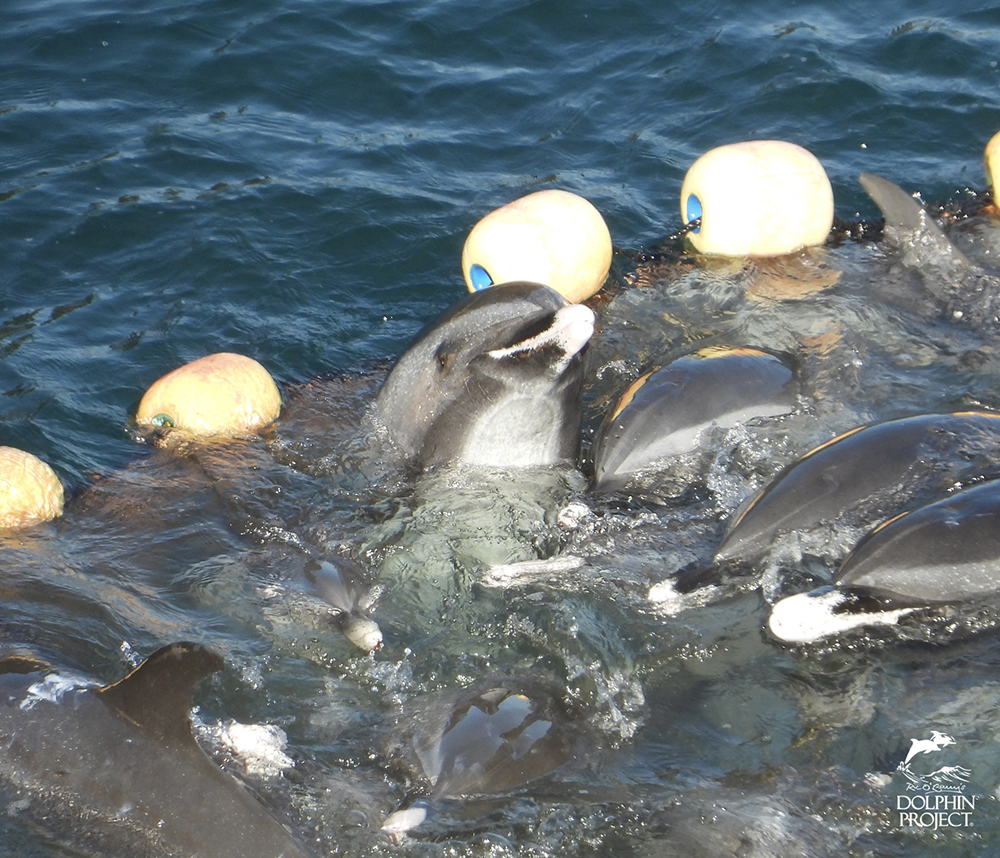 太地町のイルカ漁・パニック状態のマダライルカの群れ