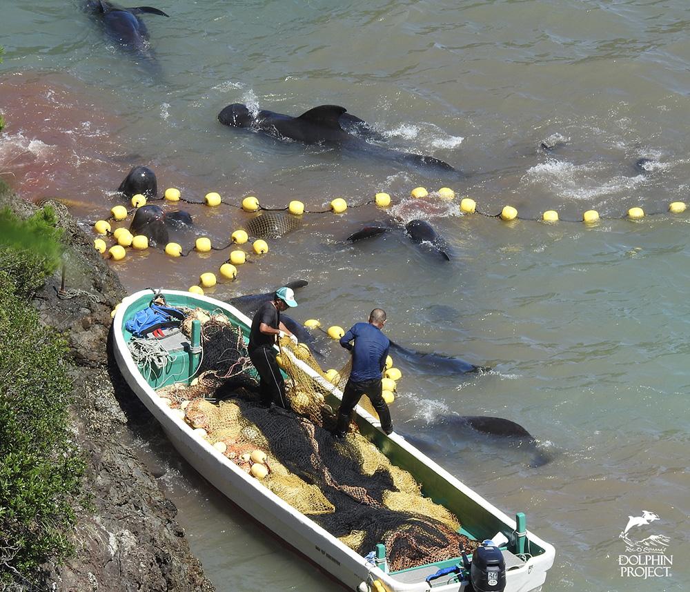 太地町のイルカの追い込み漁・コビレゴンドウ
