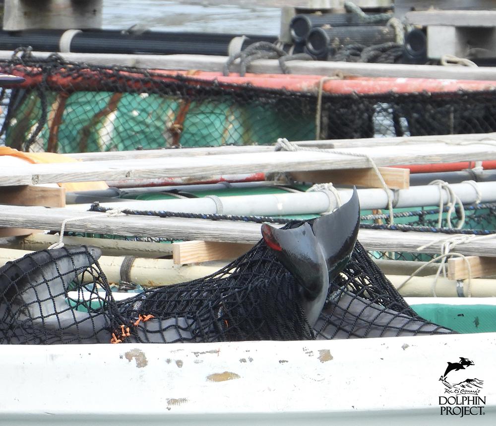 太地町のイルカの追い込み漁・水族館用に捕獲されたカマイルカ