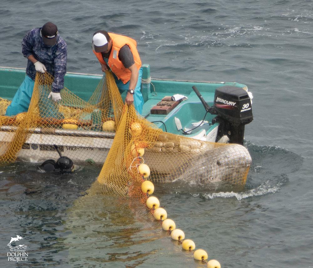太地町のイルカの追い込み漁・網に引っかかったハナゴンドウ