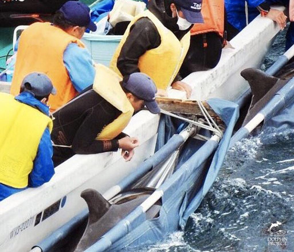 太地町のイルカの追い込み漁・イルカトレーナー